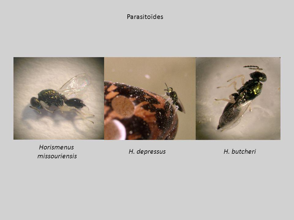 Horismenus missouriensis H. butcheriH. depressus Parasitoïdes
