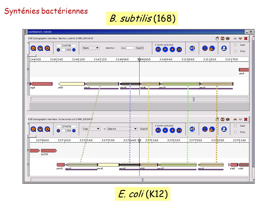 B. subtilis (168) E. coli (K12) Synténies bactériennes
