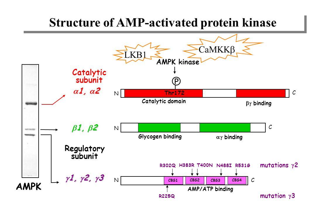 regulatory SU catalytic SU Structure de l'AMP-kinase