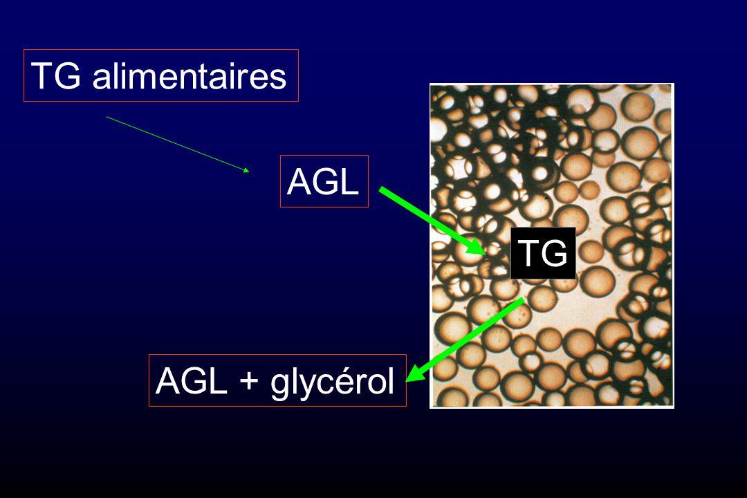 Lipogenèse (nourri) Lipolyse (à jeun)