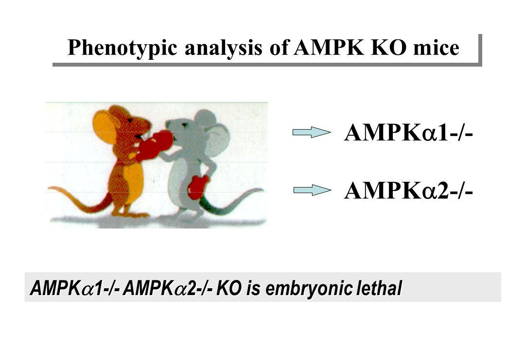 Lactivation pharmacologique de lAMPK -augmente la captation intramusculaire de glucose -réduit la production hépatique de glucose -réduit la lipogenès