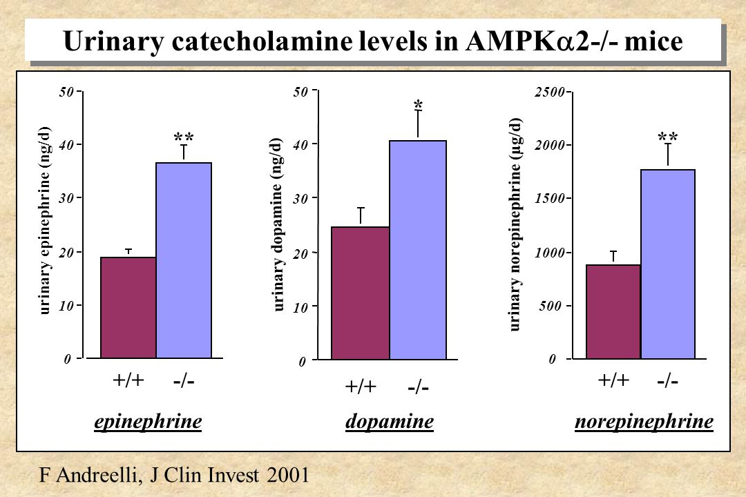 AMPK 2-/- mice do not present: - hypokaliemia - hyperleptinemia - increased TG content in pancreas Why are AMPK 2-/- mice insulinopenic? modification