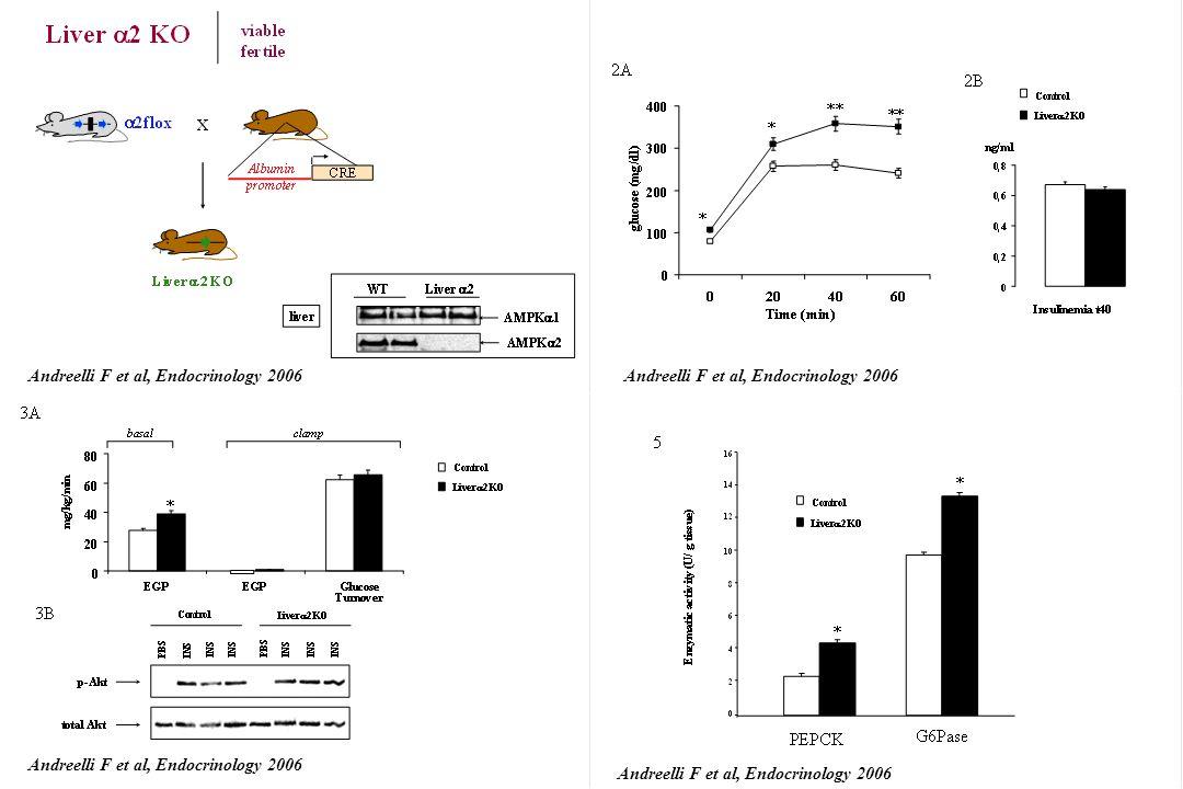 Liver 2 KO AMPK 1 AMPK 2 WT liver 2 CRE Albumin promoter 2flox x Liver 2 KO wt deleted floxed fl/fl; cre- liver+/+; cre+ liverfl/fl; cre+ liver fl/fl;