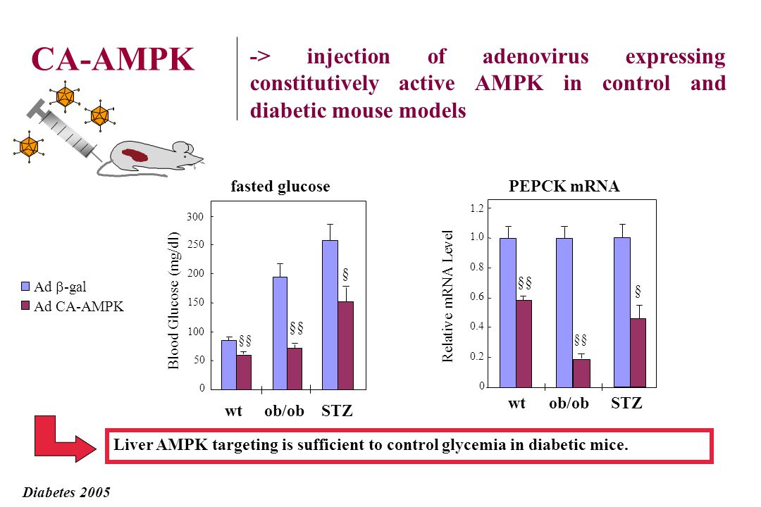 Adenovirus injection 1.10 9 pfu Sacrifice 48h infection Expression of AMPK 2-CA by in vivo adenovirus- mediated gene transfer in mice Adenovirus AMPK 2-CA + analysis of gene expression in fasted/refed conditions effect on glycemia Diabetes 2005