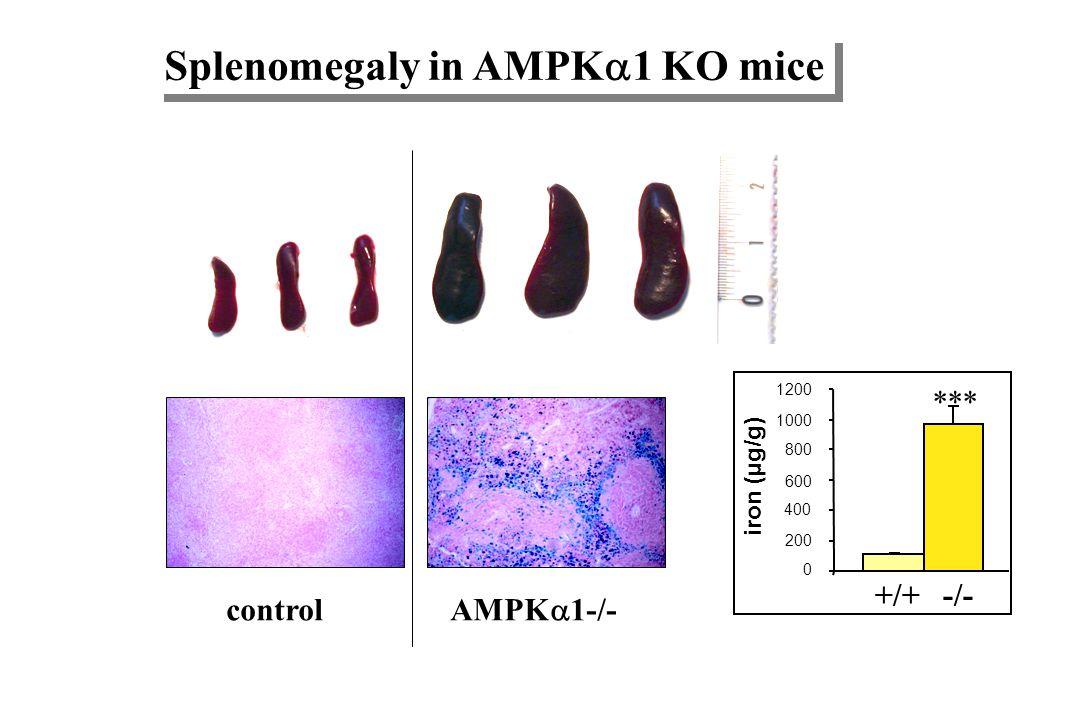 AMPK 1 KO mice are anemic 0 2 4 6 8 10 12 RBC (10 6 /ml) *** +/+-/- 0 10 20 30 40 50 60 -/-+/+ Ht (%) *** 0 4 8 12 16 20 -/-+/+ Hb (g/dl) *** 0 4 8 12