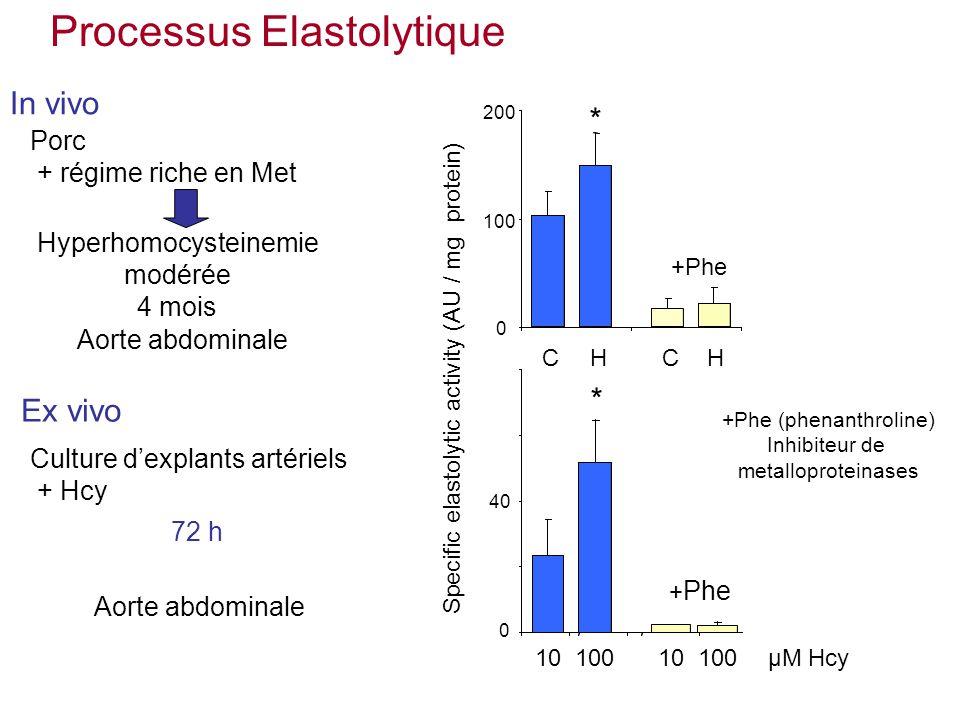 * 0 40 Specific elastolytic activity (AU / mg protein) 10100µM Hcy + Phe 10100 200 0 * CHCH +Phe +Phe (phenanthroline) Inhibiteur de metalloproteinases Processus Elastolytique Porc + régime riche en Met 72 h Hyperhomocysteinemie modérée 4 mois In vivo Ex vivo Culture dexplants artériels + Hcy Aorte abdominale