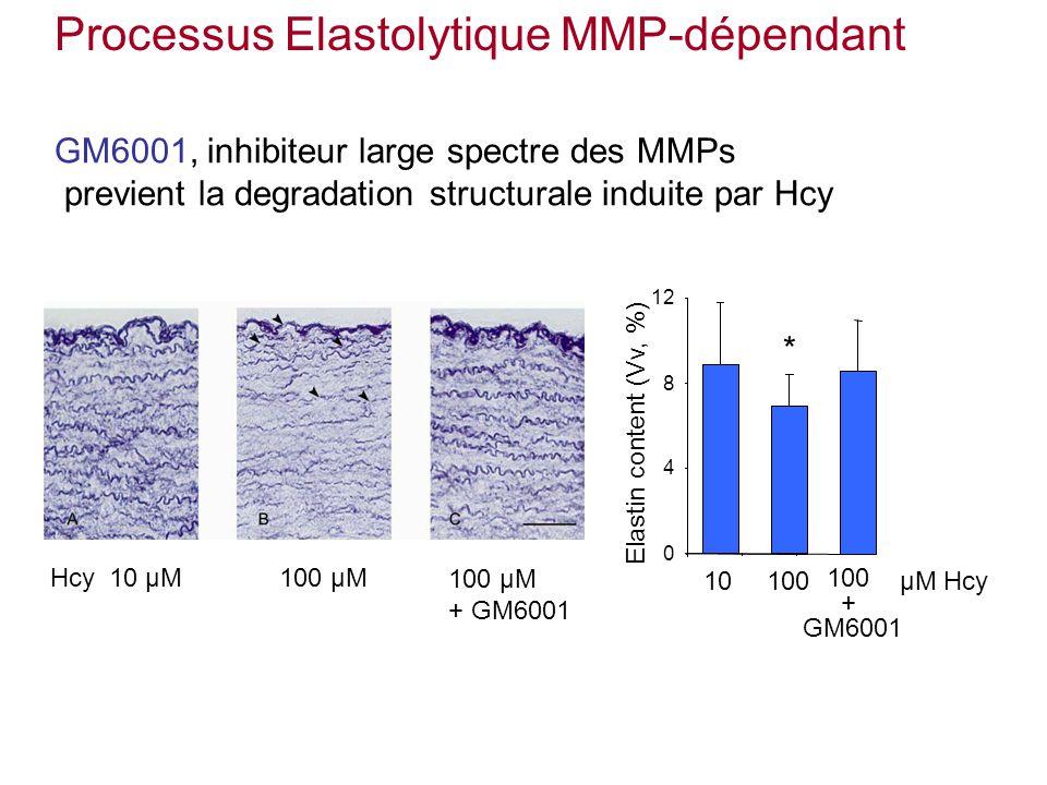 Elastin content (Vv, %) 12 10 µM100 µMHcy 0 4 8 10100µM Hcy * 100 µM + GM6001 100 + GM6001 GM6001, inhibiteur large spectre des MMPs previent la degradation structurale induite par Hcy Processus Elastolytique MMP-dépendant