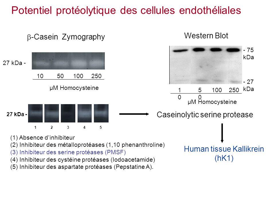 -Casein Zymography 1050100 µM Homocysteine 250 27 kDa - (1) Absence dinhibiteur (2) Inhibiteur des métalloprotéases (1,10 phenanthroline) (3) Inhibiteur des serine protéases (PMSF) (4) Inhibiteur des cystéine protéases (Iodoacetamide) (5) Inhibiteur des aspartate protéases (Pepstatine A).