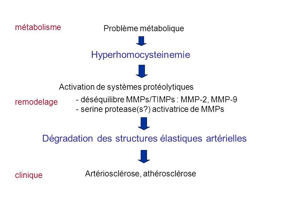 Hyperhomocysteinemie Problème métabolique Activation de systèmes protéolytiques - déséquilibre MMPs/TIMPs : MMP-2, MMP-9 - serine protease(s?) activatrice de MMPs Dégradation des structures élastiques artérielles Artériosclérose, athérosclérose métabolisme remodelage clinique