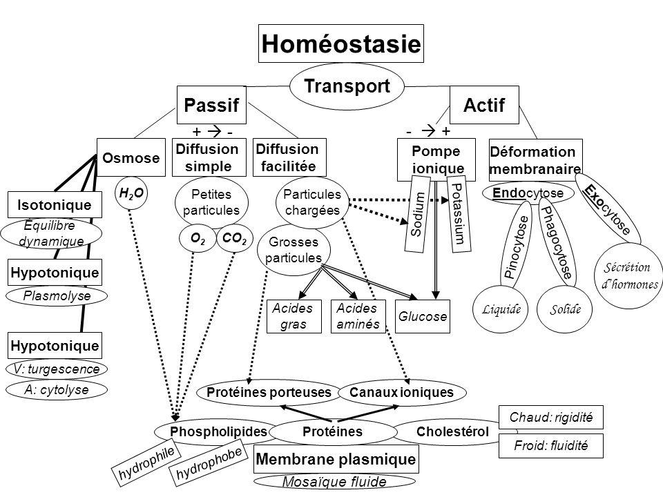 Homéostasie Transport ActifPassif Diffusion simple Osmose Diffusion facilitée Déformation membranaire Pompe ionique Membrane plasmique Protéines porteusesCanaux ioniques PhospholipidesCholestérol Chaud: rigidité Froid: fluidité Endocytose Exocytose Pinocytose Phagocytose LiquideSolide Sécrétion dhormones Sodium Potassium Glucose Petites particules O2O2 CO 2 Grosses particules H2OH2O Particules chargées Acides aminés Acides gras Hypotonique Isotonique V: turgescence A: cytolyse Plasmolyse Équilibre dynamique Protéines Mosaïque fluide hydrophile hydrophobe + - - +