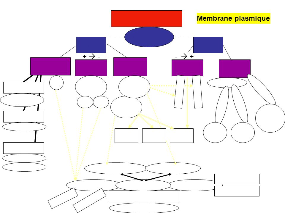 Homéostasie Transport ActifPassif Diffusion simple Osmose Diffusion facilitée Déformation membranaire Pompe ionique Membrane plasmique Protéines porteusesCanaux ioniques PhospholipidesCholestérol Chaud: rigidité Froid: fluidité Endocytose Exocytose Pinocytose Phagocytose LiquideSolide Sécrétion dhormones Sodium Potassium Glucose Petites particules O2O2 CO 2 Grosses particules H2OH2O Particules chargées Acides aminés Acides gras Hypertonique Hypotonique Isotonique V: turgescence A: cytolyse Plasmolyse Équilibre dynamique Protéines Mosaïque fluide hydrophile hydrophobe Homéostasie Transport ActifPassif Diffusion simple Osmose Diffusion facilitée Déformation membranaire Pompe ionique Membrane plasmique Protéines porteusesCanaux ioniques PhospholipidesCholestérol Chaud: rigidité Froid: fluidité Endocytose Exocytose Pinocytose Phagocytose LiquideSolide Sécrétion dhormones Sodium Potassium Glucose Petites particules O2O2 CO 2 Grosses particules H2OH2O Particules chargées Acides aminés Acides gras V: turgescence A: cytolyse Plasmolyse Équilibre dynamique Protéines Mosaïque fluide hydrophile hydrophobe + - - +