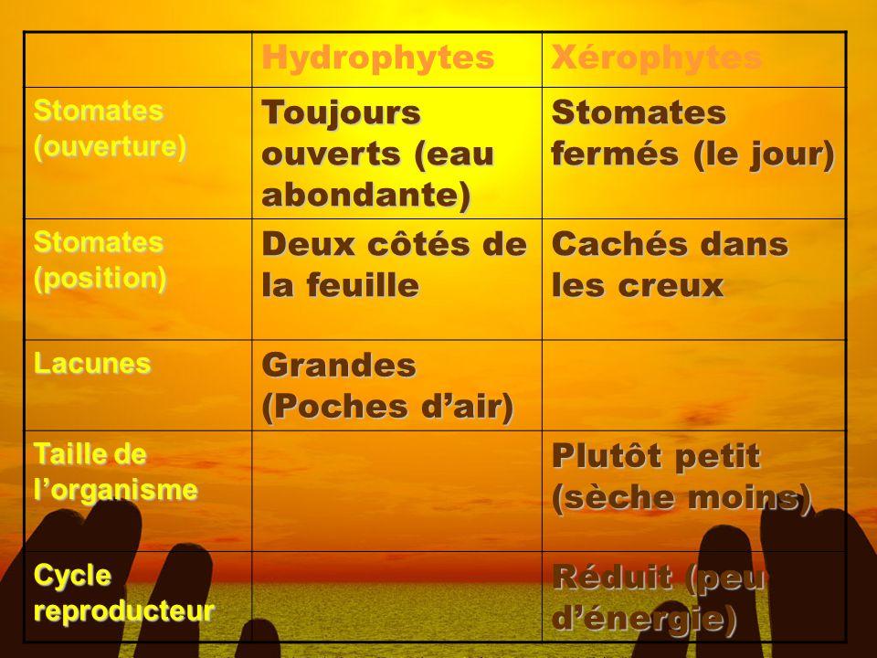 HydrophytesXérophytes Stomates (ouverture) Toujours ouverts (eau abondante) Stomates fermés (le jour) Stomates (position) Deux côtés de la feuille Cac