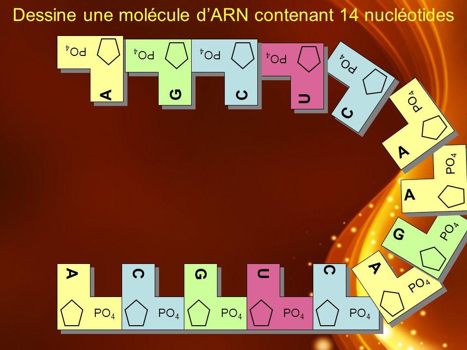 Dessine une molécule dARN contenant 14 nucléotides R PO 4 AUGC A G A C U C A AGC