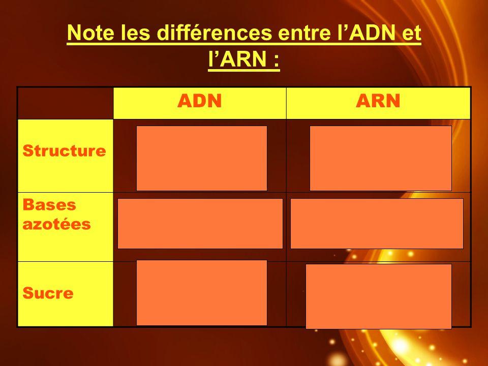 Note les différences entre lADN et lARN : ADNARN Structure 2 brins face à face 1 seul brin Bases azotées Cytosine-Guanine Adénine-Thymine Cytosine-Gua