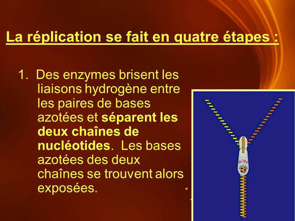 La réplication se fait en quatre étapes : 1. Des enzymes brisent les liaisons hydrogène entre les paires de bases azotées et séparent les deux chaînes