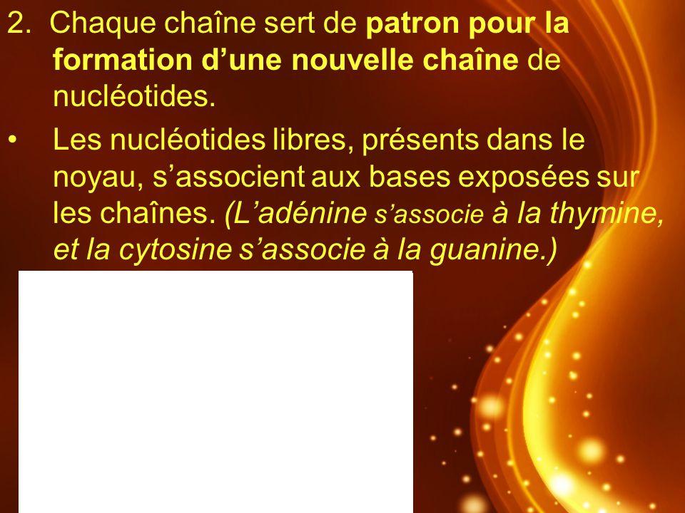 2. Chaque chaîne sert de patron pour la formation dune nouvelle chaîne de nucléotides. Les nucléotides libres, présents dans le noyau, sassocient aux