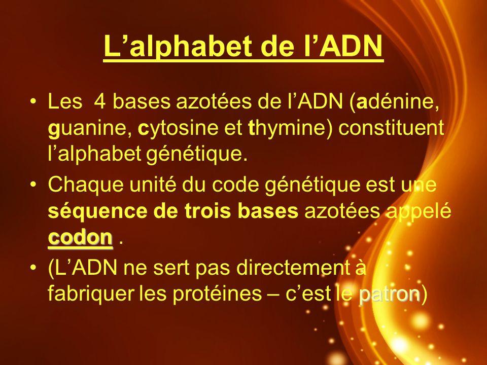Lalphabet de lADN Les 4 bases azotées de lADN (adénine, guanine, cytosine et thymine) constituent lalphabet génétique. codonChaque unité du code génét