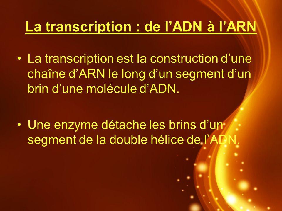 La transcription : de lADN à lARN La transcription est la construction dune chaîne dARN le long dun segment dun brin dune molécule dADN. Une enzyme dé
