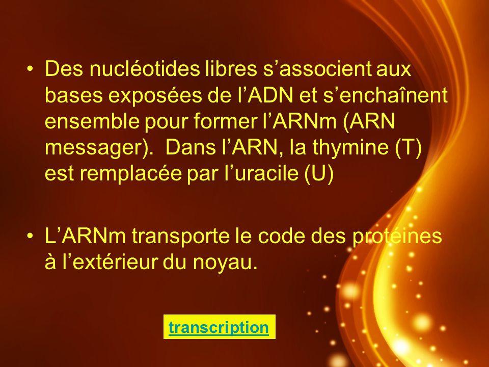 Des nucléotides libres sassocient aux bases exposées de lADN et senchaînent ensemble pour former lARNm (ARN messager). Dans lARN, la thymine (T) est r