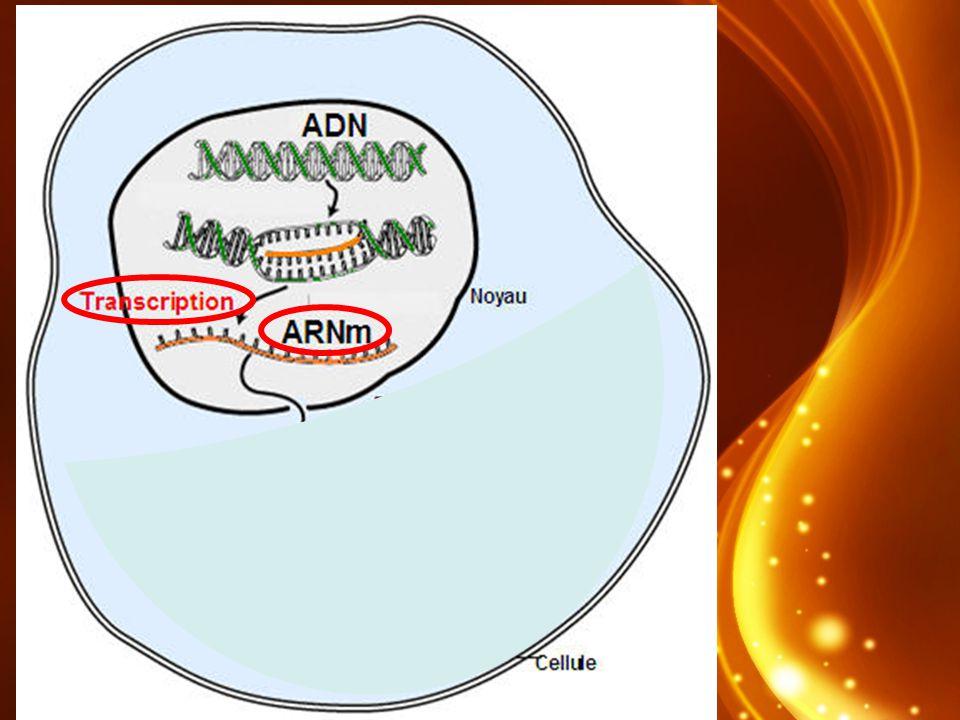 Les types dARN ARNm ARNt 1 brin copié de triple boucle lADN (T U)