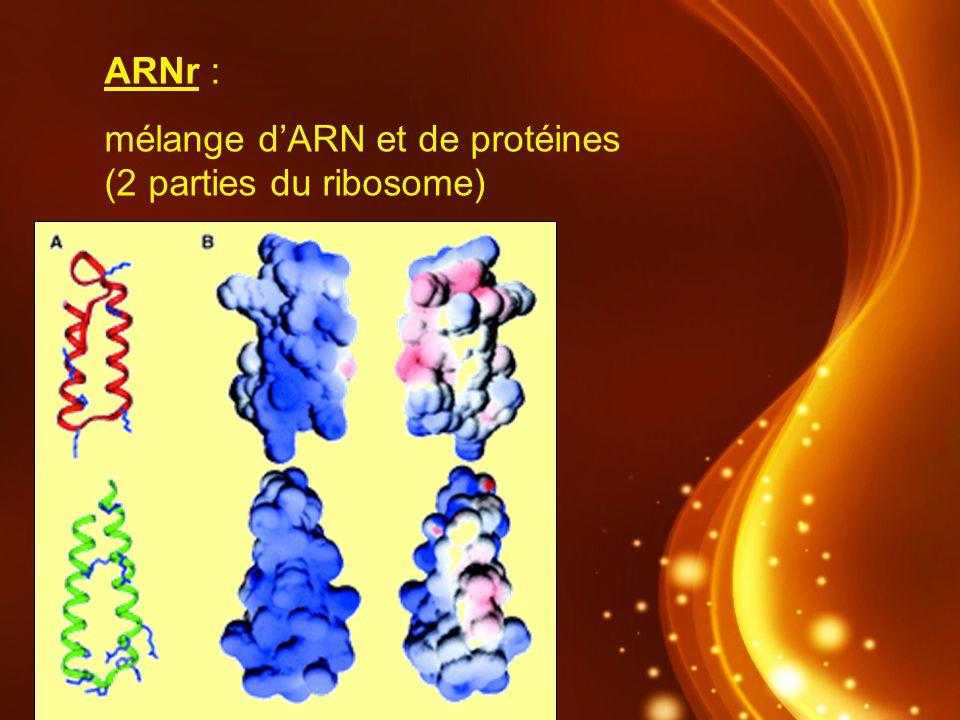 ARNr : mélange dARN et de protéines (2 parties du ribosome)