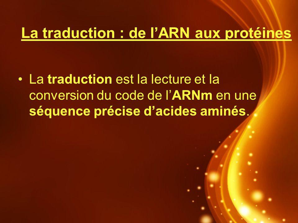 La traduction : de lARN aux protéines La traduction est la lecture et la conversion du code de lARNm en une séquence précise dacides aminés.