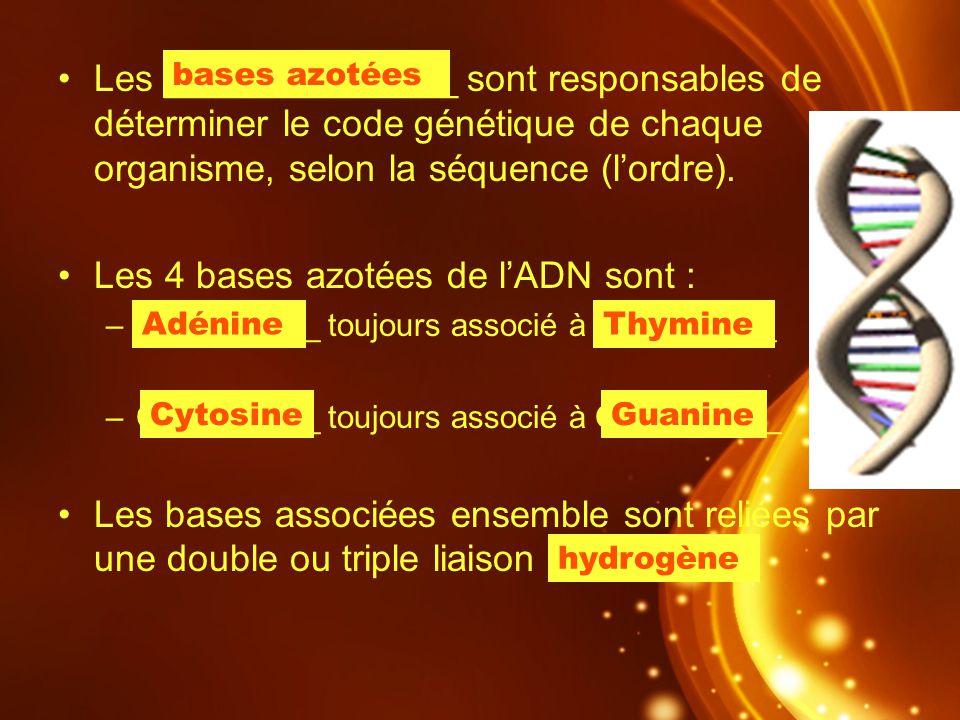 Les ______________ sont responsables de déterminer le code génétique de chaque organisme, selon la séquence (lordre). Les 4 bases azotées de lADN sont