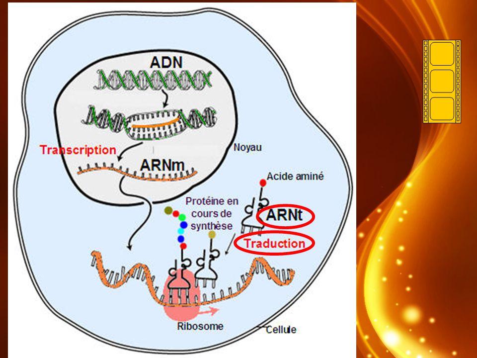 (LARNt va chercher les acides aminés) Les molécules dARNt (ARN de transfert), qui apportent les acides aminés aux ribosomes, sont en forme de triple boucle.