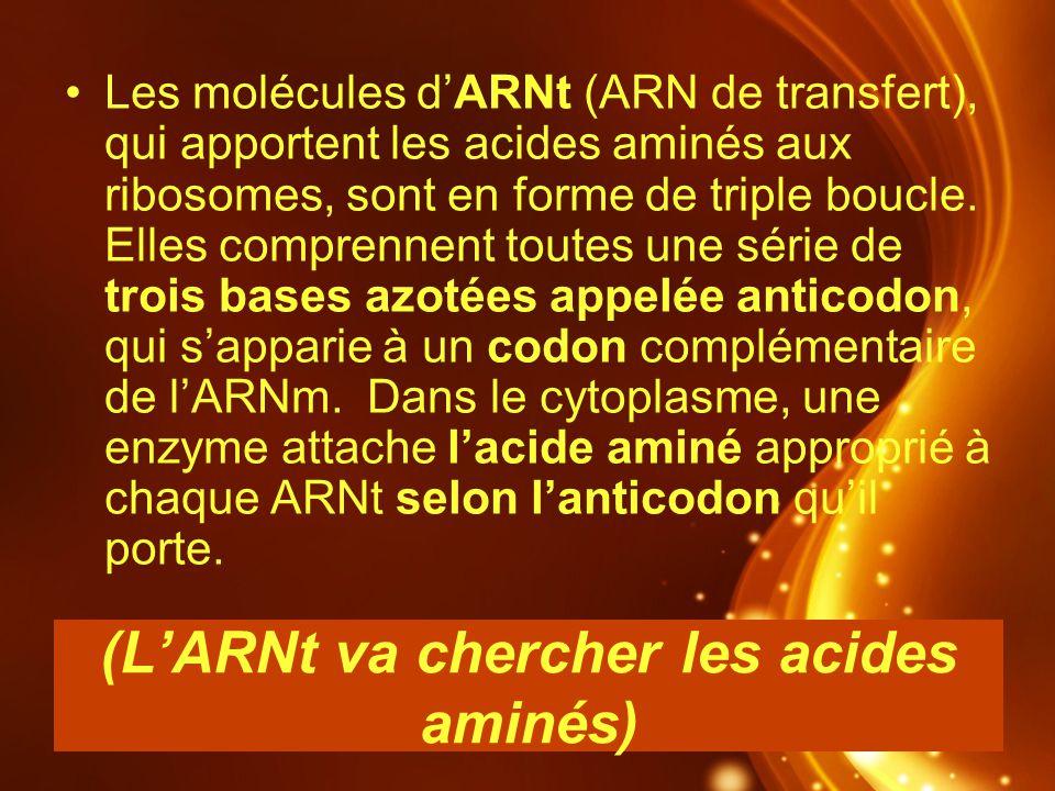 (LARNt va chercher les acides aminés) Les molécules dARNt (ARN de transfert), qui apportent les acides aminés aux ribosomes, sont en forme de triple b