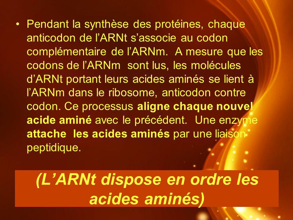 (LARNt dispose en ordre les acides aminés) Pendant la synthèse des protéines, chaque anticodon de lARNt sassocie au codon complémentaire de lARNm. A m
