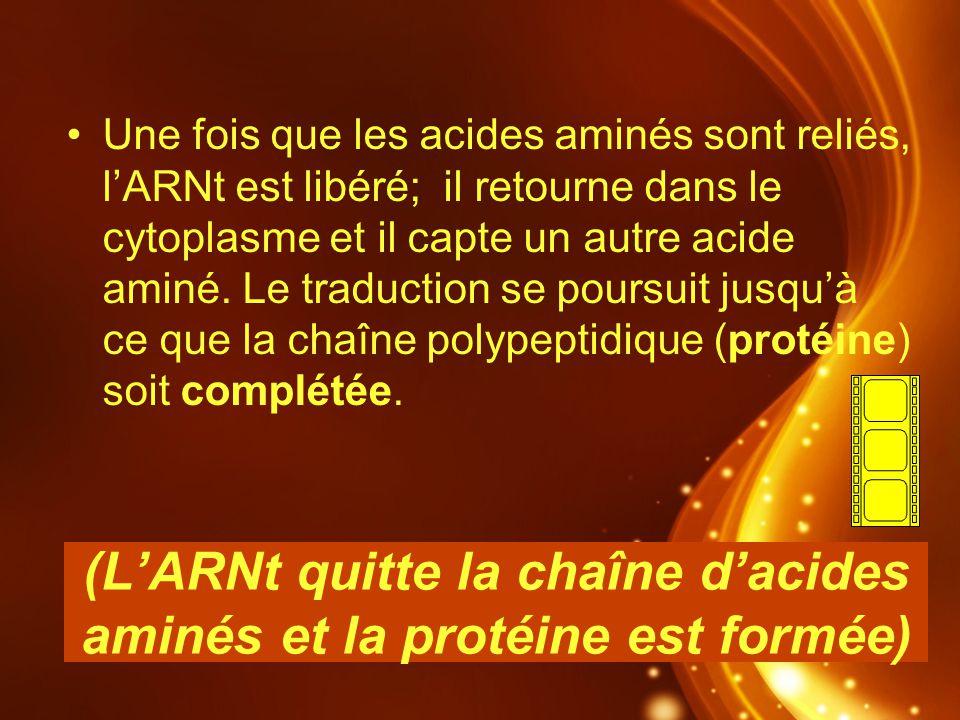 (LARNt quitte la chaîne dacides aminés et la protéine est formée) Une fois que les acides aminés sont reliés, lARNt est libéré; il retourne dans le cy