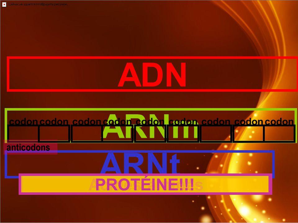 ADN ARNm ARNt codon anticodons codon Acides aminésPROTÉINE!!!