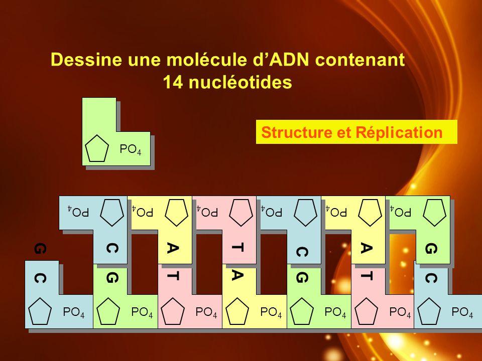Dessine une molécule dADN contenant 14 nucléotides D PO 4 A TG C C GA T C G T A Structure et Réplication