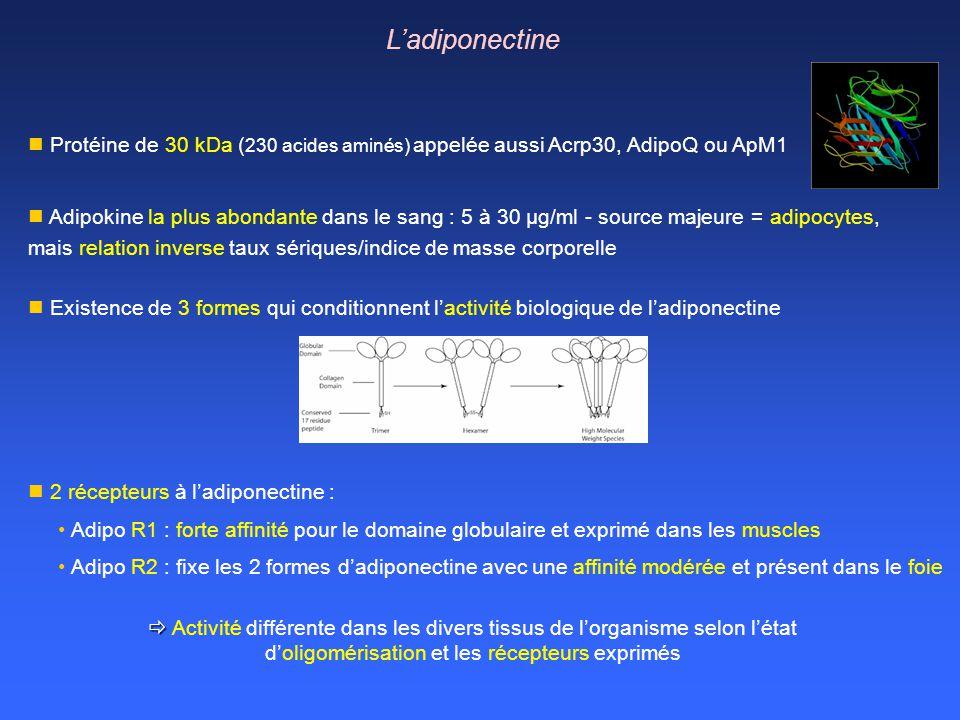 Protéine de 30 kDa ( 230 acides aminés) appelée aussi Acrp30, AdipoQ ou ApM1 2 récepteurs à ladiponectine : Adipo R1 : forte affinité pour le domaine