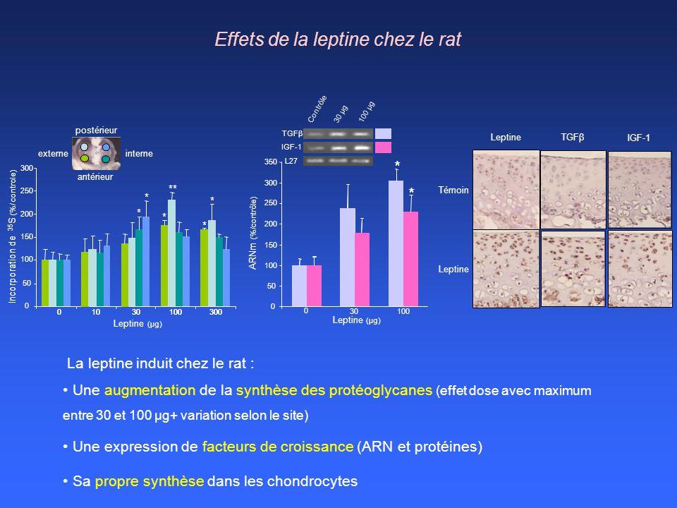 Effets de la leptine chez le rat La leptine induit chez le rat : Une augmentation de la synthèse des protéoglycanes (effet dose avec maximum entre 30