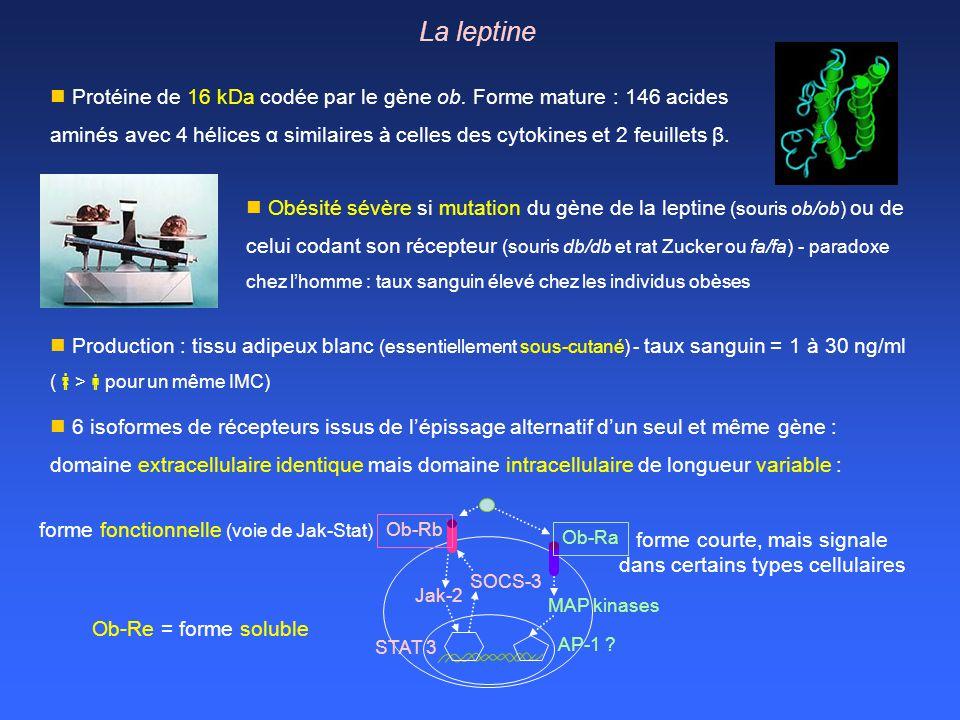 La leptine Protéine de 16 kDa codée par le gène ob. Forme mature : 146 acides aminés avec 4 hélices α similaires à celles des cytokines et 2 feuillets