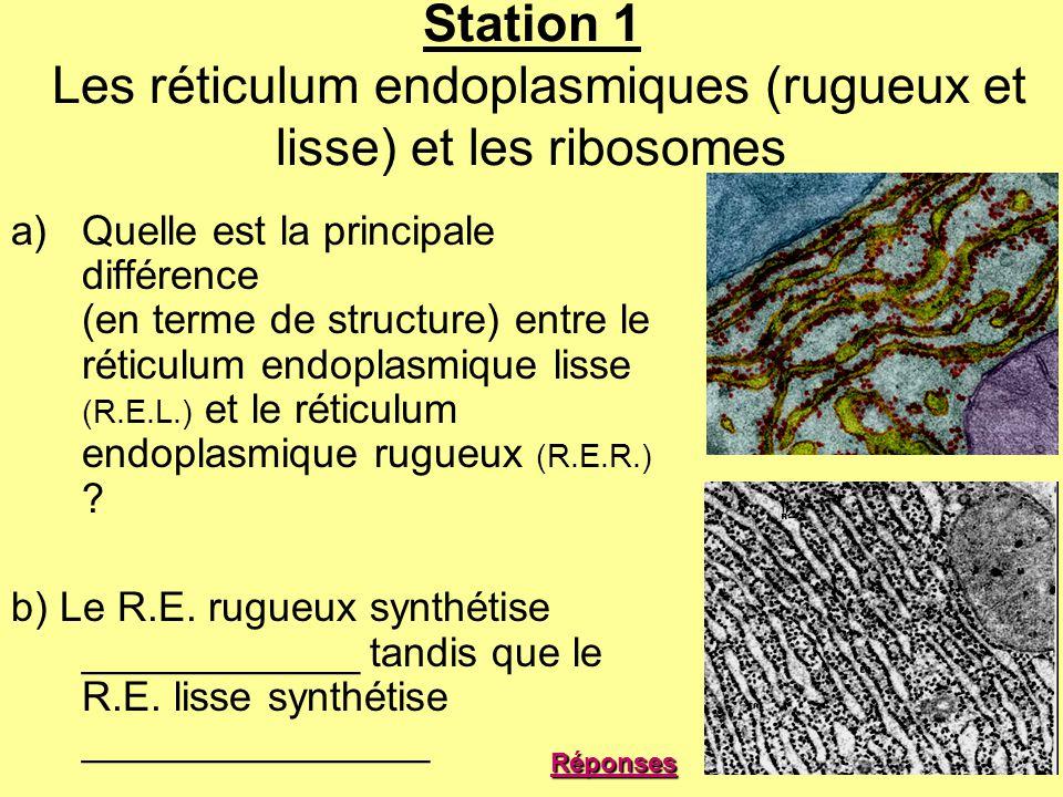 Station 1 Les réticulum endoplasmiques (rugueux et lisse) et les ribosomes a)Quelle est la principale différence (en terme de structure) entre le réti
