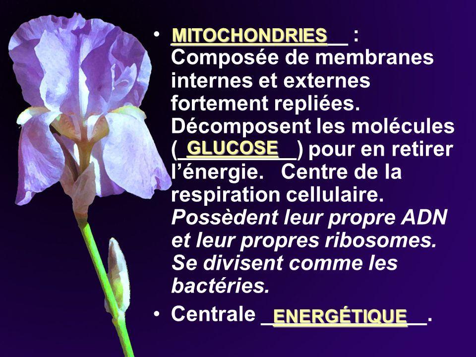 _______________ : Composée de membranes internes et externes fortement repliées. Décomposent les molécules (__________) pour en retirer lénergie. Cent