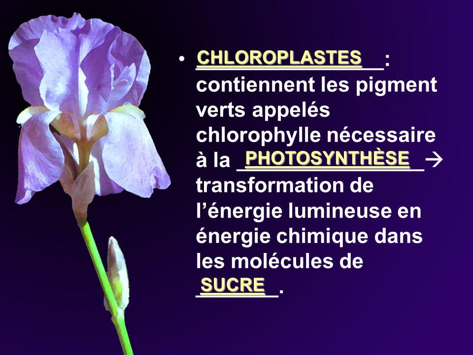 ________________: contiennent les pigment verts appelés chlorophylle nécessaire à la ________________ transformation de lénergie lumineuse en énergie