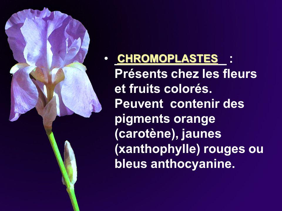 ________________ : Présents chez les fleurs et fruits colorés. Peuvent contenir des pigments orange (carotène), jaunes (xanthophylle) rouges ou bleus
