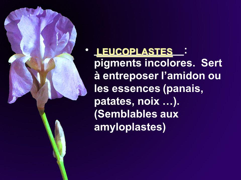 _______________: pigments incolores. Sert à entreposer lamidon ou les essences (panais, patates, noix …). (Semblables aux amyloplastes) LEUCOPLASTES