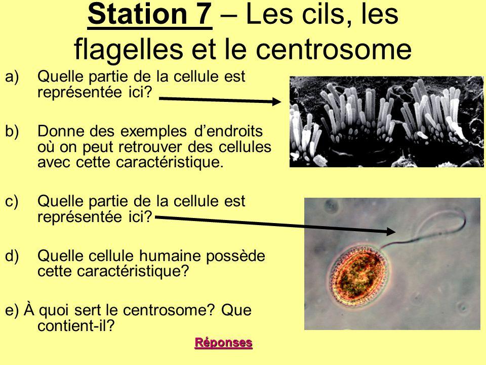 Station 7 – Les cils, les flagelles et le centrosome a)Quelle partie de la cellule est représentée ici? b)Donne des exemples dendroits où on peut retr