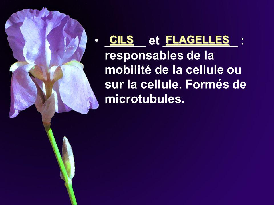______ et ___________ : responsables de la mobilité de la cellule ou sur la cellule. Formés de microtubules.CILSFLAGELLES