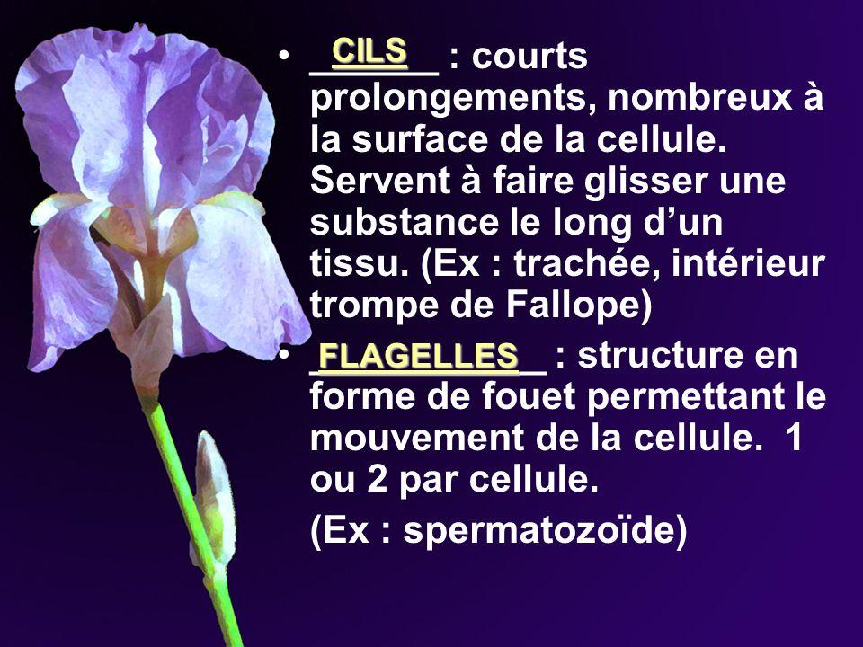 ______ : courts prolongements, nombreux à la surface de la cellule. Servent à faire glisser une substance le long dun tissu. (Ex : trachée, intérieur