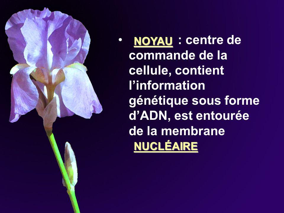 : centre de commande de la cellule, contient linformation génétique sous forme dADN, est entourée de la membrane NOYAU NUCLÉAIRE