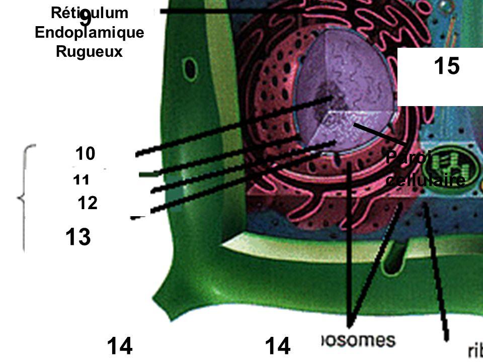 9 11 10 12 rugueux 15 13 14 9 Réticulum Endoplamique Rugueux Paroi cellulaire