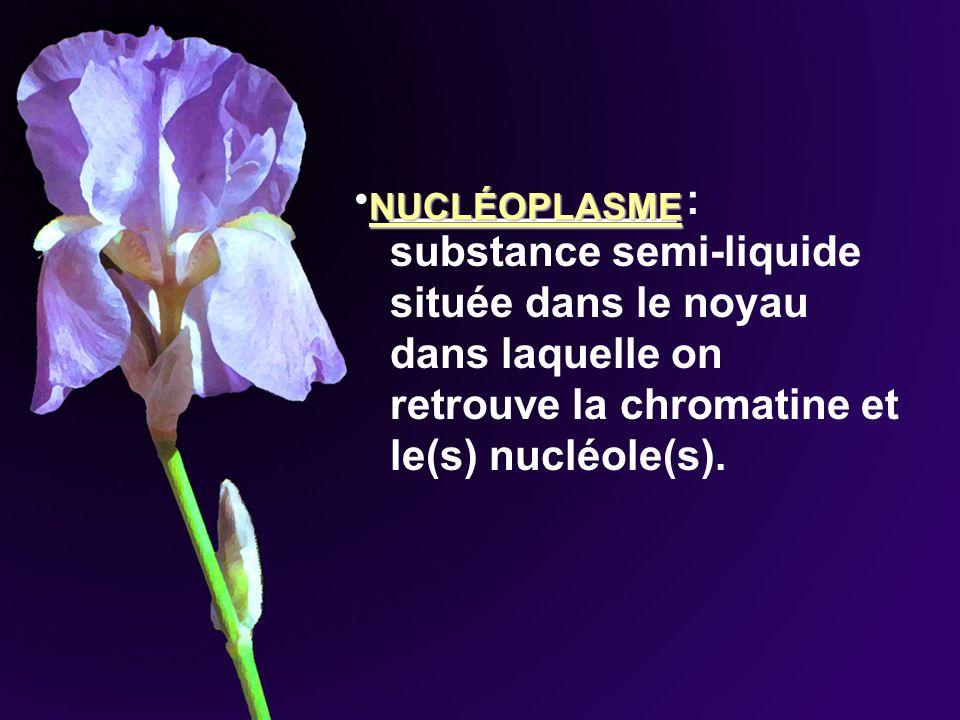 ____________ : substance semi-liquide située dans le noyau dans laquelle on retrouve la chromatine et le(s) nucléole(s). NUCLÉOPLASME