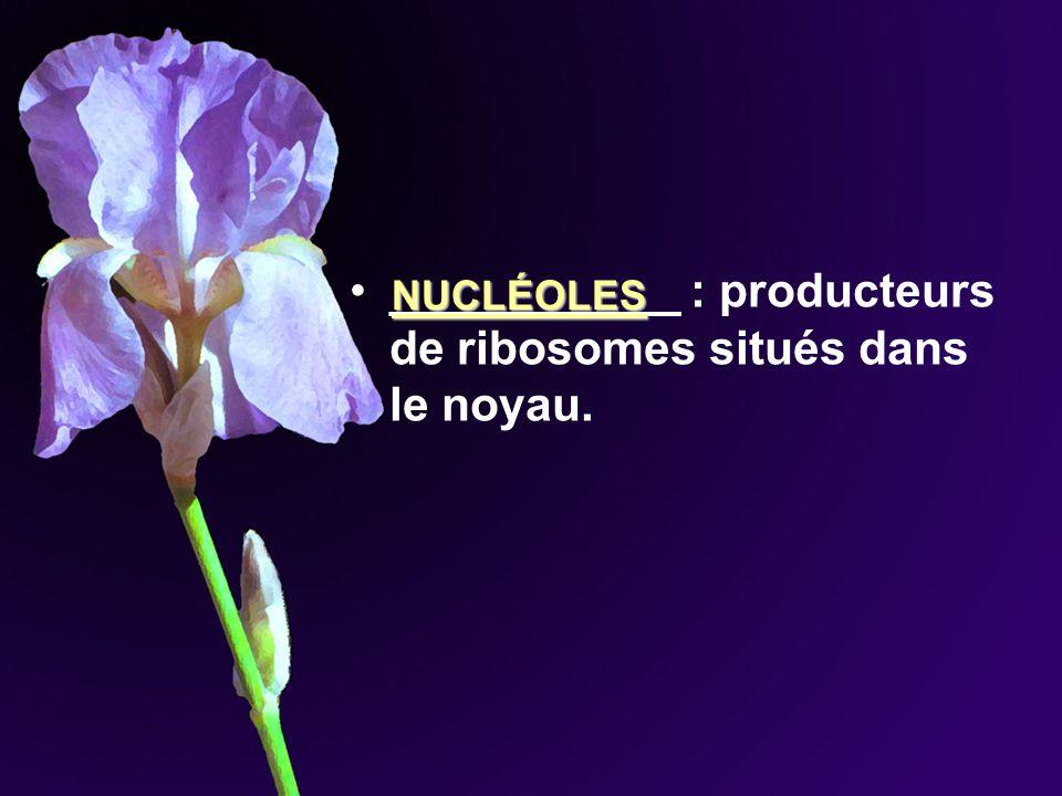 ___________ : producteurs de ribosomes situés dans le noyau. NUCLÉOLES