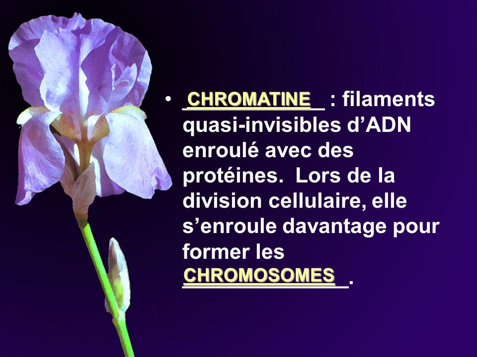 ____________ : filaments quasi-invisibles dADN enroulé avec des protéines. Lors de la division cellulaire, elle senroule davantage pour former les ___