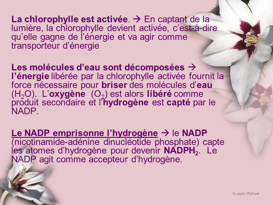 La chlorophylle est activéeLa chlorophylle est activée. En captant de la lumière, la chlorophylle devient activée, cest-à-dire quelle gagne de lénergi